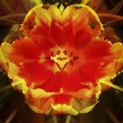 tulpen-10