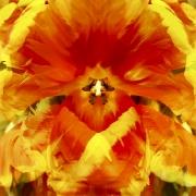 tulpen-11