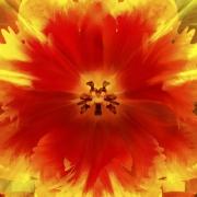 tulpen-12
