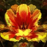 tulpen-7