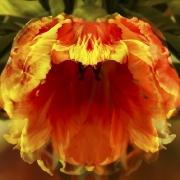 tulpen-8